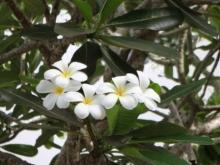 グアムの花たち