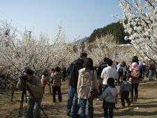 院洞梅祭り